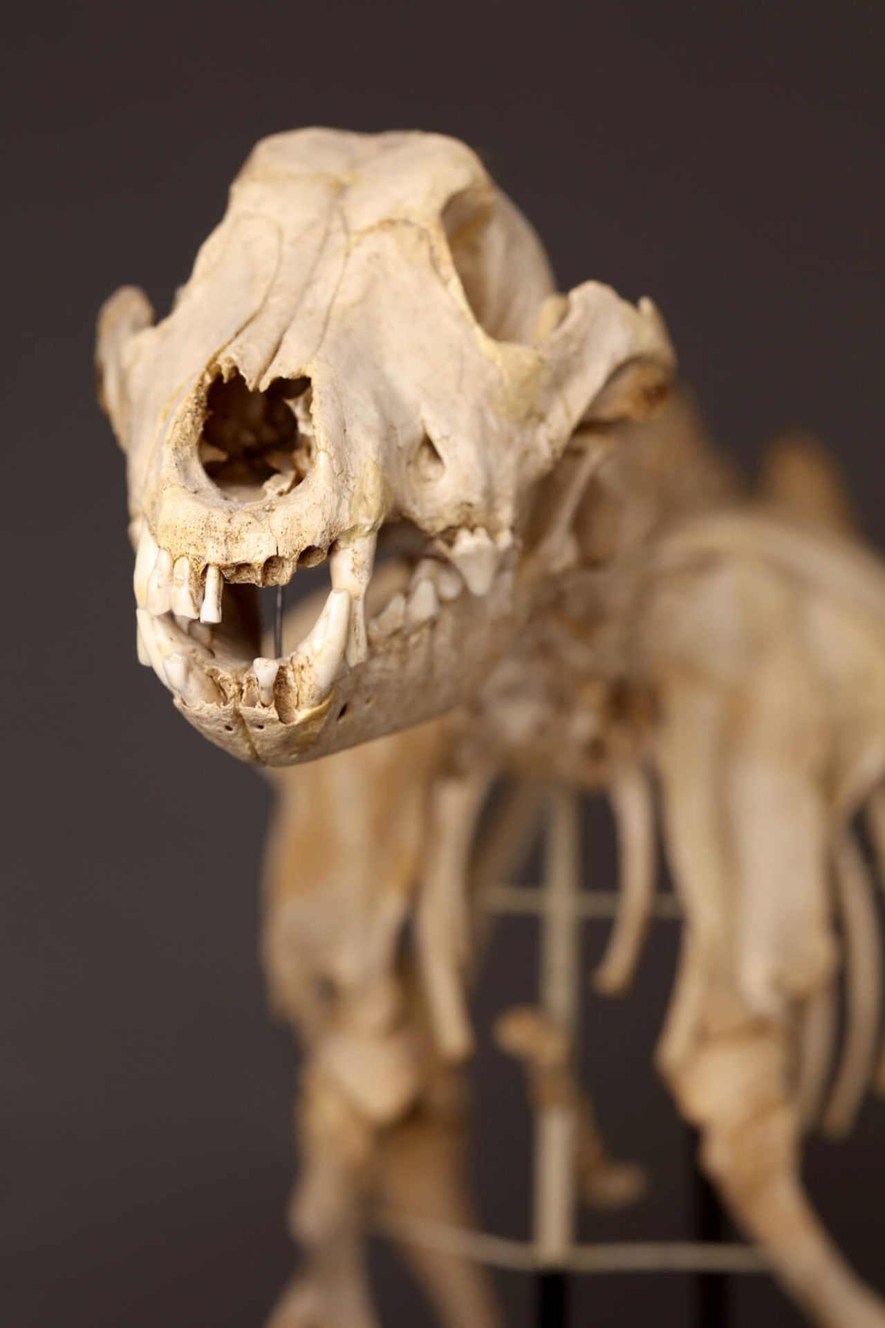 Dorset-Museum-Objects-Skeleton-of-dog-from-Maiden-Castle