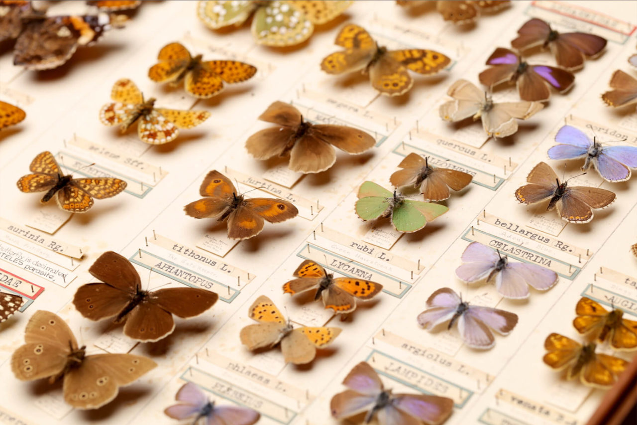 dorset-museum-objects-Cyril-Days-butterfly-collection